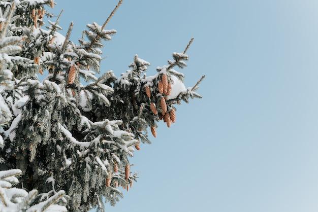 Albero con coni ricoperti di neve. soleggiata giornata invernale nella foresta. Foto Premium