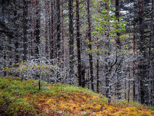 Alberi coperti di muschio. foresta profonda sulla penisola di kola. Foto Premium