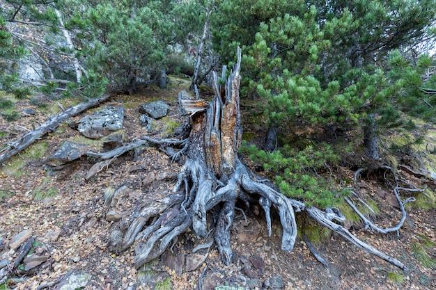 Tronco, radici dell'albero caduto Foto Premium