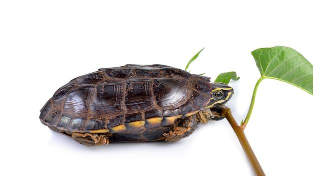 Tartaruga che mangia gloria di mattina su bianco Foto Premium