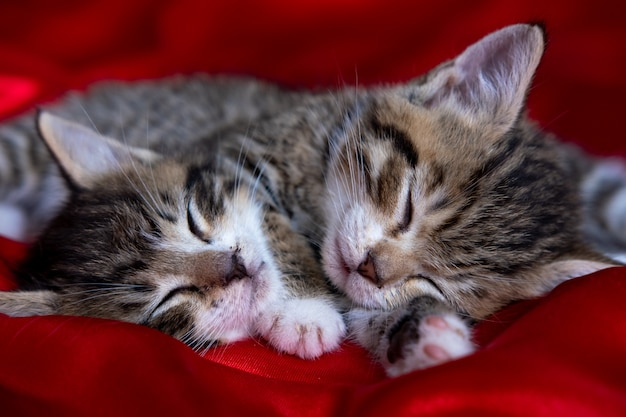 Gattino a strisce adorabile due che si trova dormendo sulla coperta rossa. simpatici animali domestici gatti, san valentino e cartolina di natale Foto Premium