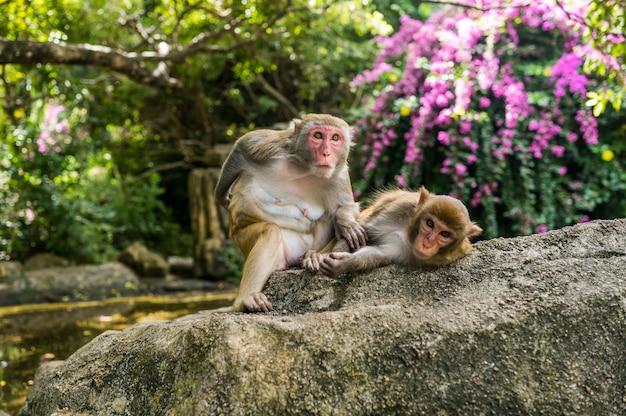 Macaco adulto di rhesus di due scimmie del viso arrossato che si governa nel parco naturale tropicale di hainan, cina. scimmia sfacciata nell'area della foresta naturale. scena della fauna selvatica con animale di pericolo. mulatta macaca. Foto Premium