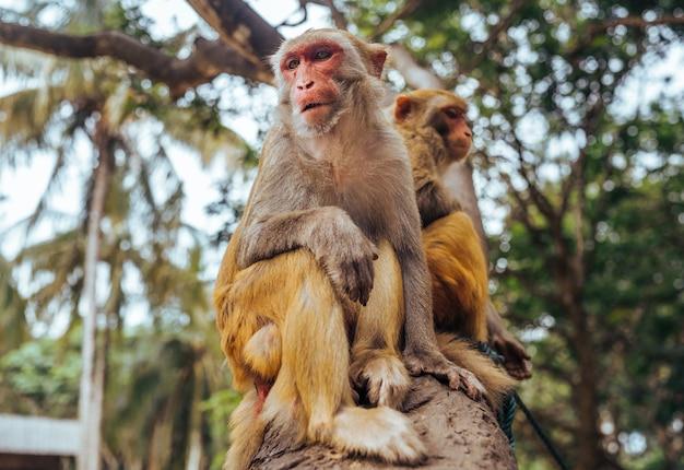Macaco adulto di rhesus di due scimmie del viso arrossato nel parco naturale tropicale di hainan, cina. scimmia sfacciata nell'area della foresta naturale. scena della fauna selvatica con animale di pericolo. mulatta macaca. Foto Premium