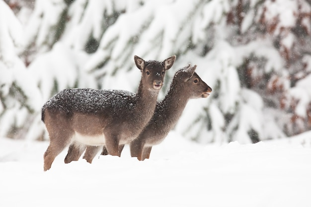 Due baby daini, dama dama, in piedi sul prato in inverno. Foto Premium