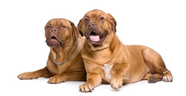 Due dogue de bordeaux Foto Premium