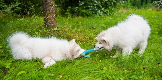 Due cani bianchi lanuginosi divertenti dei cuccioli di samoiedo stanno giocando con il giocattolo sull'erba verde Foto Premium