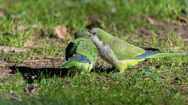 Due pappagalli blateranti nell'orecchio Foto Premium