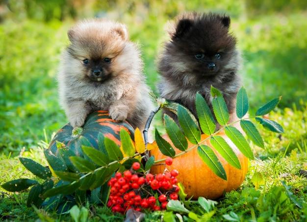 Due cuccioli di cani pomeranian e zucca Foto Premium