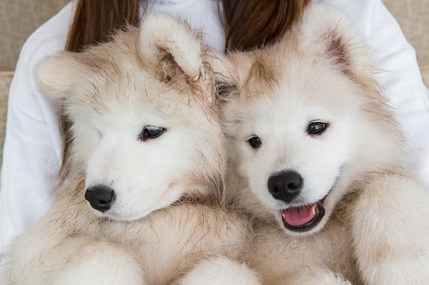 Due cani samoiedo sulle mani del proprietario. Foto Premium