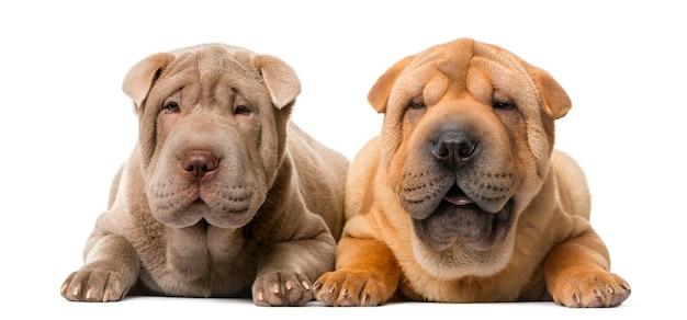Due cuccioli di shar pei davanti a un muro bianco Foto Premium