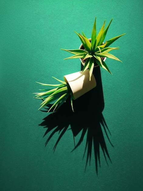 Due piccole piante succulente in vasi per piante che gettano lunghe ombre su sfondo di carta in verde biscay Foto Premium