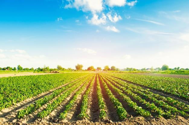 Righe vegetali di pepe crescono nel campo. agricoltura, agricoltura. Foto Premium