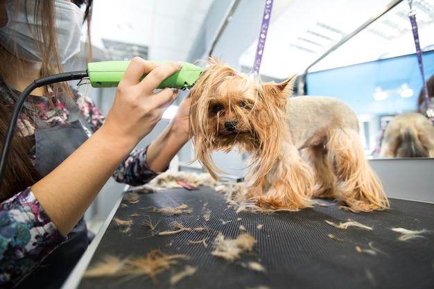Taglio veterinario di un yorkshire terrier con un tagliacapelli in una clinica veterinaria Foto Premium
