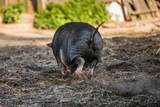Il maiale vietnamita panciuto pascola nel cortile. indietro Foto Premium