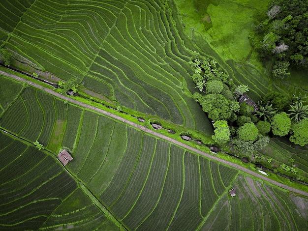 Viste di campi di riso con verde e belle in indonesia Foto Premium