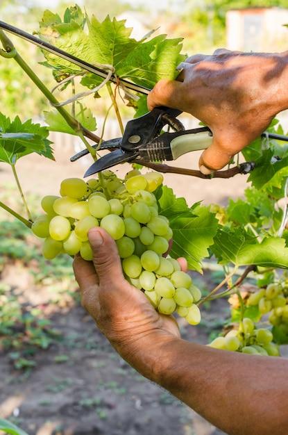 Vendemmia mani dell'agricoltore che tagliano il mazzo succoso maturo dell'uva. uva naturale, bio, biologica, ecologica. Foto Premium