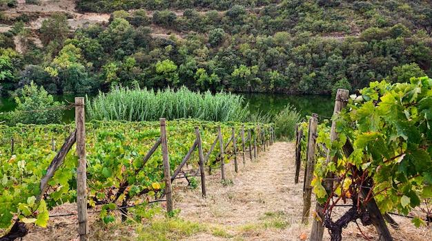 Vigneto con percorso in riva al fiume, concetto agricolo Foto Premium