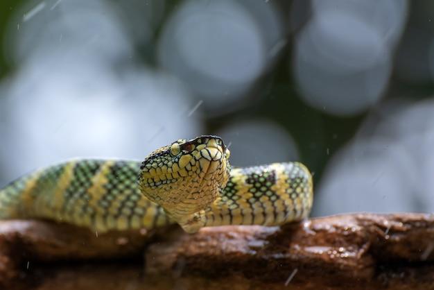 Waglers pit viper sul ramo di un albero Foto Premium