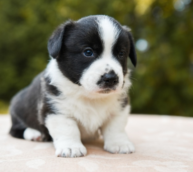 Welsh corgi pembroke cucciolo di cane in posa all'esterno Foto Premium