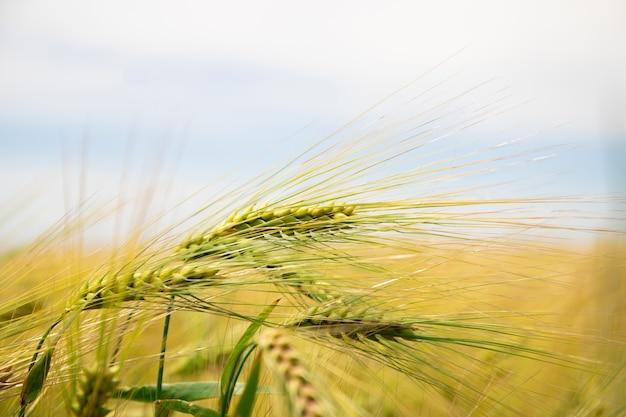 Campo di grano. spighe di grano dorato. Foto Premium