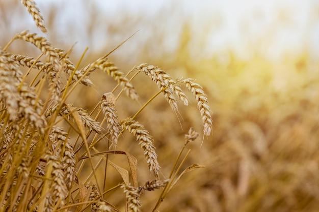 Spighe di grano nel campo su uno sfondo sfocato Foto Premium