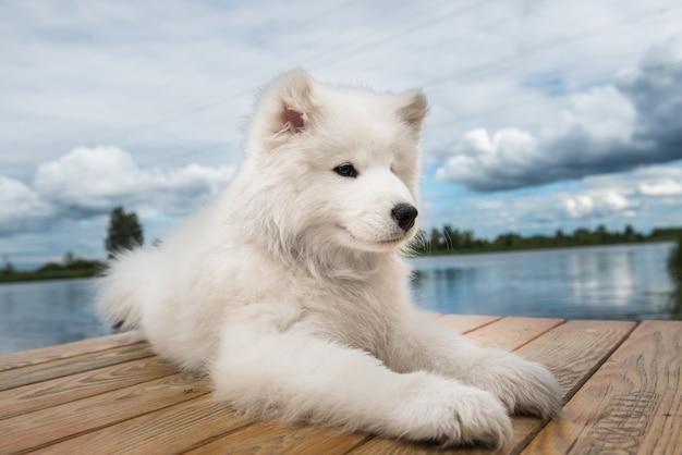 Cucciolo di samoiedo cane bianco cammina vicino all'acqua nella giornata di sole Foto Premium
