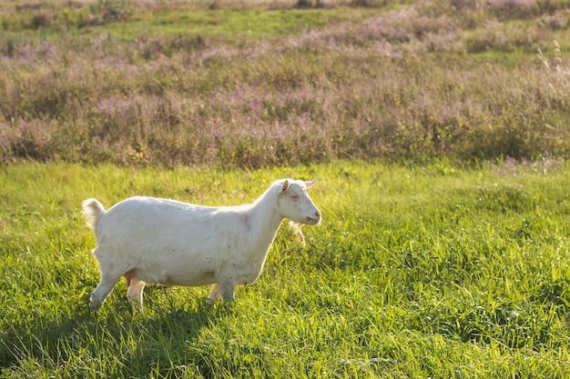 Capra domestica bianca sul campo all'azienda agricola Foto Premium