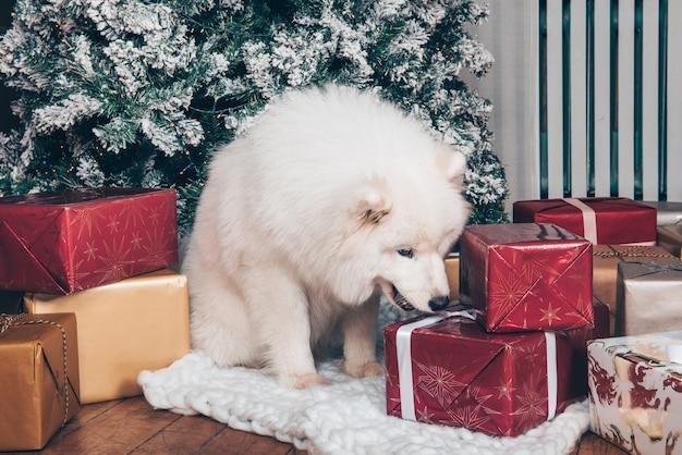Il cane lanuginoso bianco samoiedo è seduto vicino all'albero di natale con scatole regalo. Foto Premium