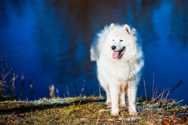 Cucciolo di cane samoiedo lanuginoso bianco sta camminando nel parco vicino al fiume stagno nella natura primaverile su erba secca Foto Premium