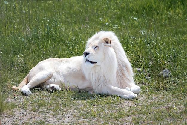 Leone bianco che si trova sull'erba verde Foto Premium