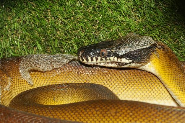 Il serpente dalle labbra bianche pitone in giardino Foto Premium