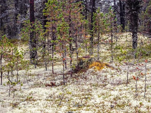 Yagel muschio bianco favolosa foresta settentrionale Foto Premium