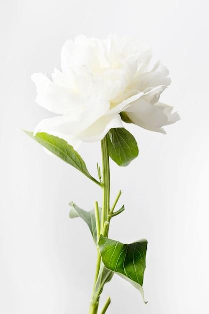 Peonia bianca su sfondo bianco Foto Premium