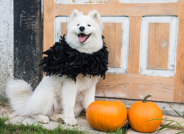 Cane samoiedo bianco con zucche di halloween. il cane è seduto sotto il portico di casa davanti alle porte d'epoca chiuse. Foto Premium