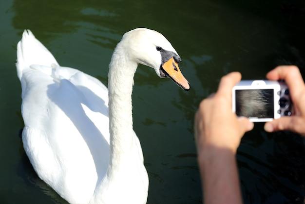 White swan in posa per le riprese del fotografo Foto Premium