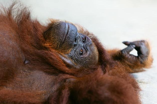 Orangutan selvaggio del borneo presso la riserva naturale di semenggoh, centro di riabilitazione della fauna selvatica a kuching. gli oranghi sono scimmie a rischio di estinzione che abitano le foreste pluviali del borneo (kalimantan) in malesia e indonesia Foto Premium