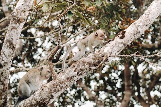 Una scimmia viva selvaggia si siede su un albero sull'isola di mauritius scimmie nella giungla dell'isola di mauritius. Foto Premium
