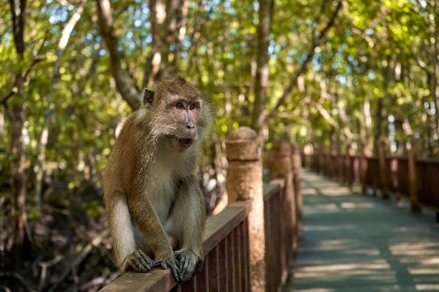 Una scimmia selvaggia si siede su un ponte nella foresta di mangrovie. Foto Premium