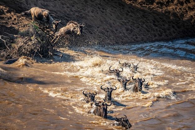 Migrazione degli gnu tra il serengeti e il parco nazionale maasai mara Foto Premium