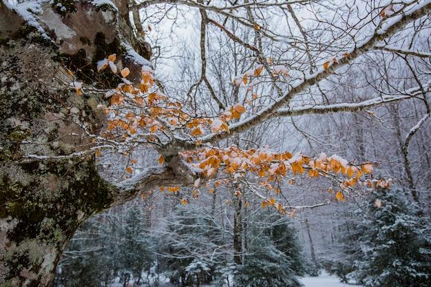 Inverno nel parco nazionale, pirenei, spagna Foto Premium