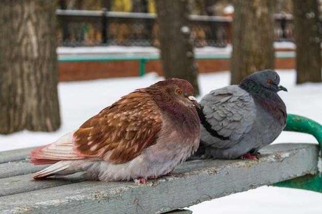In inverno, due piccioni di diversi colori sono seduti su una panchina grigia Foto Premium