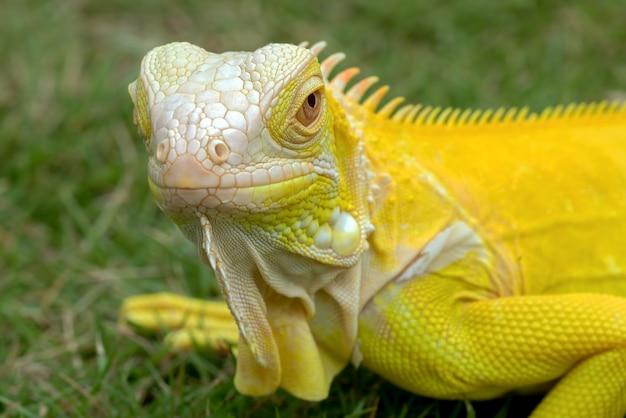 Iguana albina gialla sull'erba Foto Premium