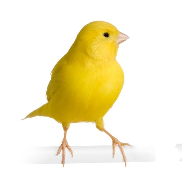 Canarino giallo - serinus canaria sul suo trespolo isolato Foto Premium