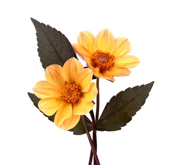 Fiore giallo della dalia con le foglie isolate su bianco Foto Premium