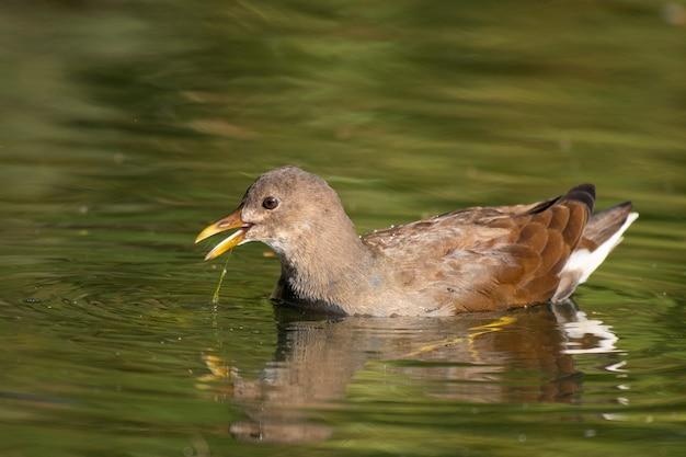 Giovane gallinella d'acqua comune si nutre del lago, gallinula chloropus. Foto Premium
