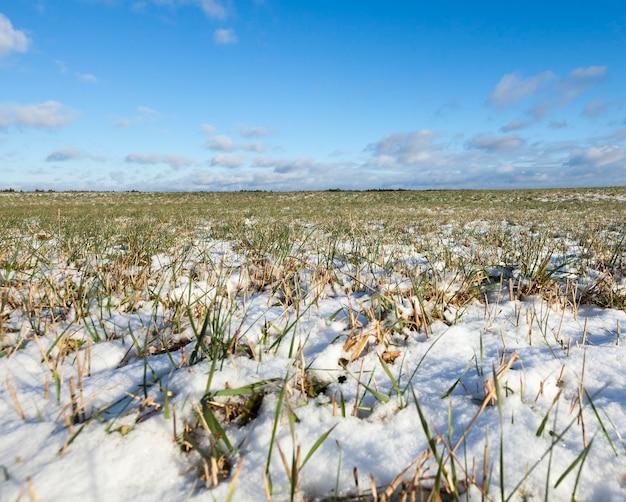 Giovani foglie di grano verde nell'orario invernale. paesaggio con cielo e nuvole sullo sfondo Foto Premium