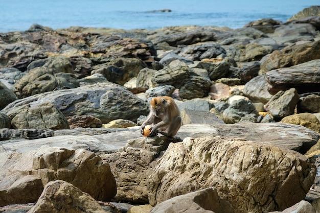 Una giovane scimmia macaco si siede su una spiaggia rocciosa e tiene una noce di cocco. Foto Premium