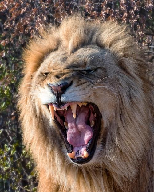 Giovane leone maschio ruggente all'alba in sud africa Foto Premium