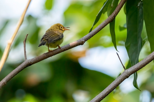 Sunbird giovane oliva-sostenuto che si appollaia sul ramo, tailandia Foto Premium
