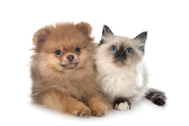 Giovane pomerania e gattino birmano davanti a uno spazio bianco Foto Premium